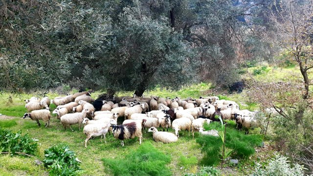 stado owiec pod oliwką