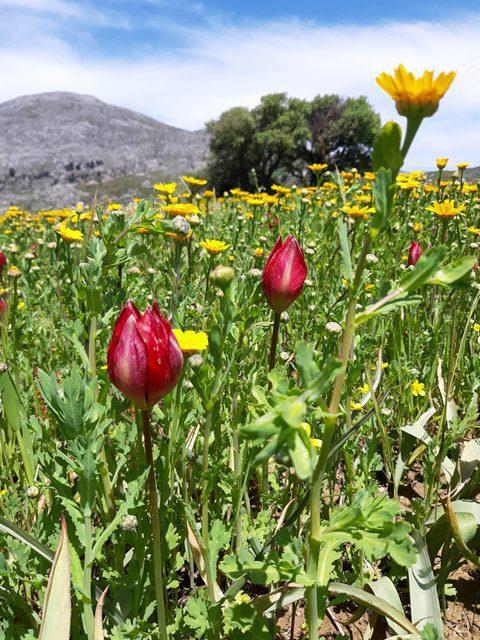 tulipany na yous kampos